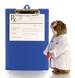 english bulldog dressed up as a doctor or veterinarian poster