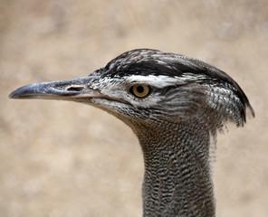 Profilo Di Corridore Della Strada - Geococcyx Californianus