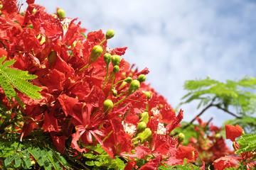 Fleurs de flamboyant