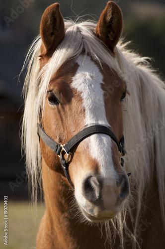 Fototapeten,pferd,tier,portrait,schönheit