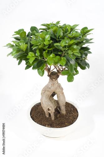 Bonsai ficus ginseng immagini e fotografie royalty free for Bonsai prezzi