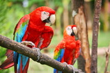 Fototapety Parrots: scarlet macaw (ara macao)