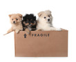Adorable Pomeranian Puppies in a Cardboard Box