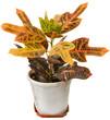 """Codiaeum variegatum -""""garden croton"""" or """"variegated croton"""".  Ex"""