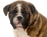 seven week old red brindle and white english bulldog puppy poster