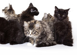 Group of beautiful Maine Coon kittens poster