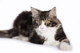 Cat, Young Maine Coon poster