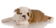 seven week old red and white bulldog puppy laying down