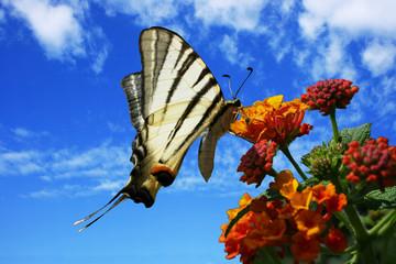 Schwalbenschwanz auf Wandelröschen