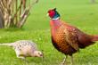 Male pheasant admiring pecking female