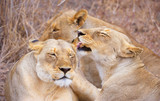 Three lionesses (panthera leo)