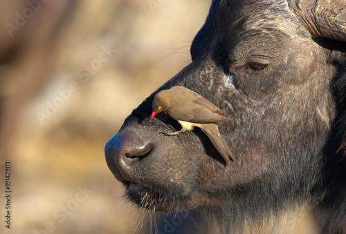 Aluminium Buffel Buffalo (Syncerus caffer) in the wild