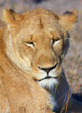 Lioness (panthera leo) close-up