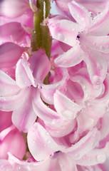 hyacinthus flower