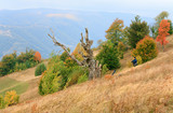 Withered tree on autumn Carpathian mountainside poster