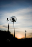 Close up of silhouette of dandelion at sunset - 19152008