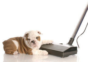 messy dog - english bulldog laying beside vacuum
