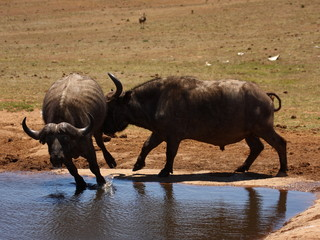 Buffalo bull attacks another while he is drinking.