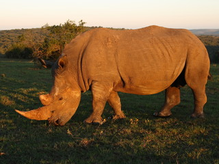 White Rhino bull grazing at sunset.