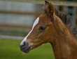 Quarter horse foal in profile