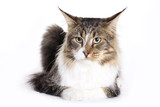 Cat portrait, Main coon poster