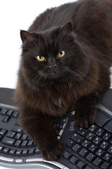 intelligent black cat and computer isolated