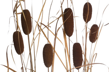 Natural dry cattail isolated on a white background
