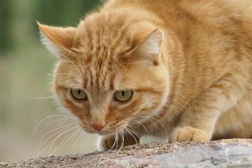 chat européen roux tabby
