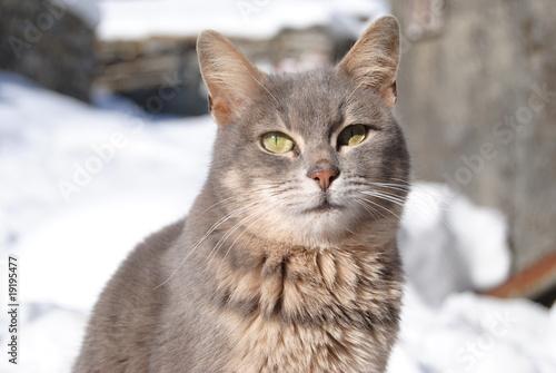Gatto Delle Nevi Animale Gatto Delle Nevi Immagini e
