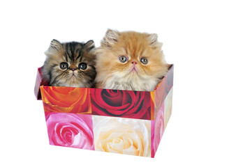 Two persian kittens for present.