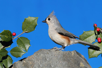Titmouse On A Rock With Holly