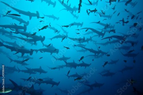 requin marteau en banc, Galapagos - 19198448