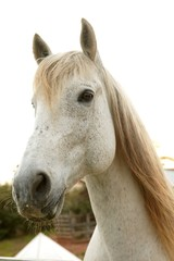 Beautiful white horse looking to camera