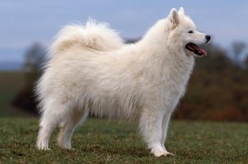 magnifique chien samoyede de profil en extérieur