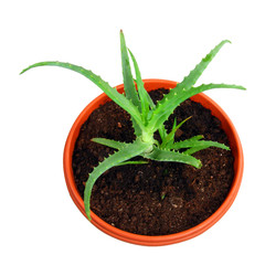 Aloe vera plant in pot isolated on white