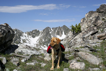Yellow labrador in the mountains