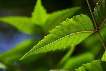 Neem leaf-Medicinal plant