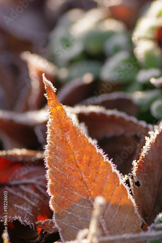 Frost covered leaf