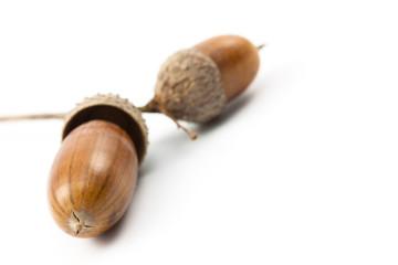 Eichel (acorn)