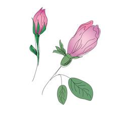 Rosebuds colorful pencil sketch