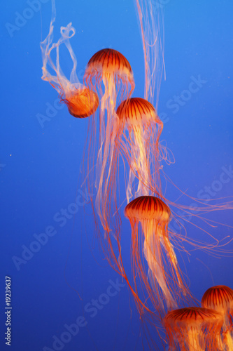 Orange decorative jellyfishes in an aquarium