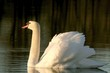 Swan floats slowly in the waters in the light of the rising sun