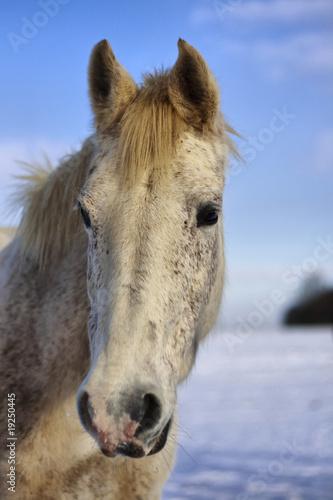 Poster Ezel Tête de cheval