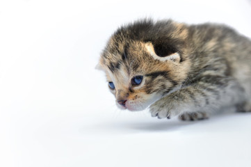 Kitten over white background