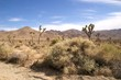 Desert shrubs, Joshua Tree National Park