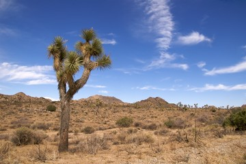 Mature joshua tree with mountains, Joshua Tree NP