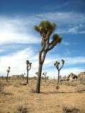 The otherworldy landscape of Joshua Tree National Park