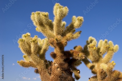 Close-up of a jumping cholla, Joshua Tree National Park