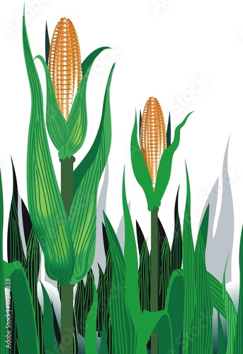 illustration of maize plant