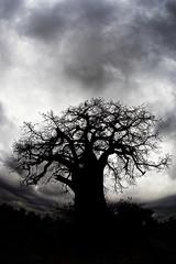 Ominous Baobab Tree